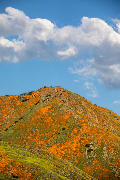Poppy Super Bloom Photography Art | Michael Scott Adams Photography