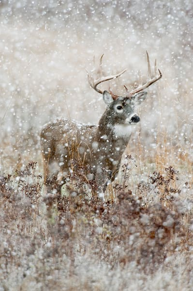 White-tailed Deer Buck on a cold, wet, snowy November day.