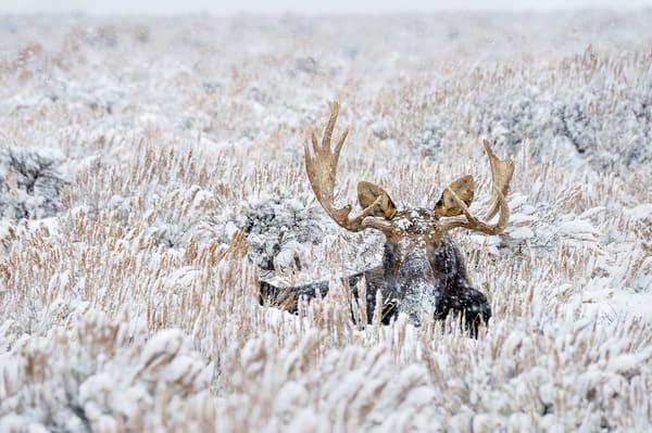 Bull Moose winter snowstorm.