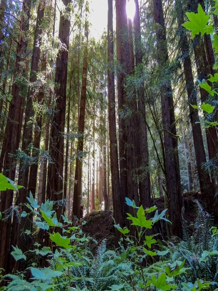 California Redwoods Photography Art | N2 the Woods Photography
