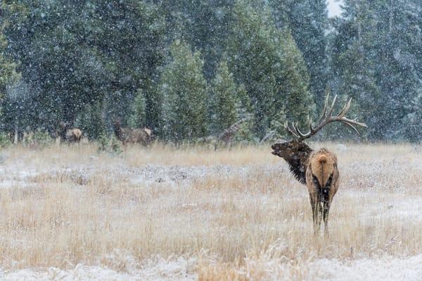 Rocky Mountain bull Elk in snowstorm