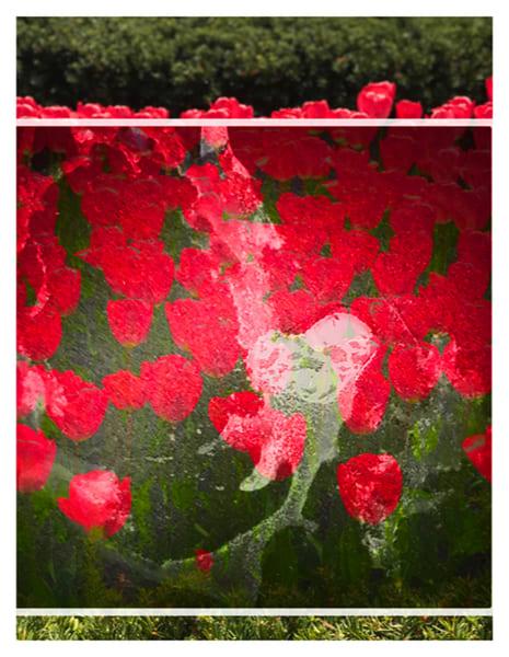 Dream, red tulips, heart photo,