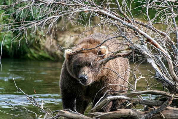 Bear Through Brush Photography Art | Michael Scott Adams Photography