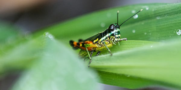 Grasshopper On Leaf Photography Art | Michael Scott Adams Photography