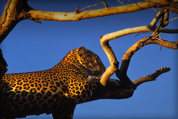 Leopard In Tree Photography Art | Michael Scott Adams Photography