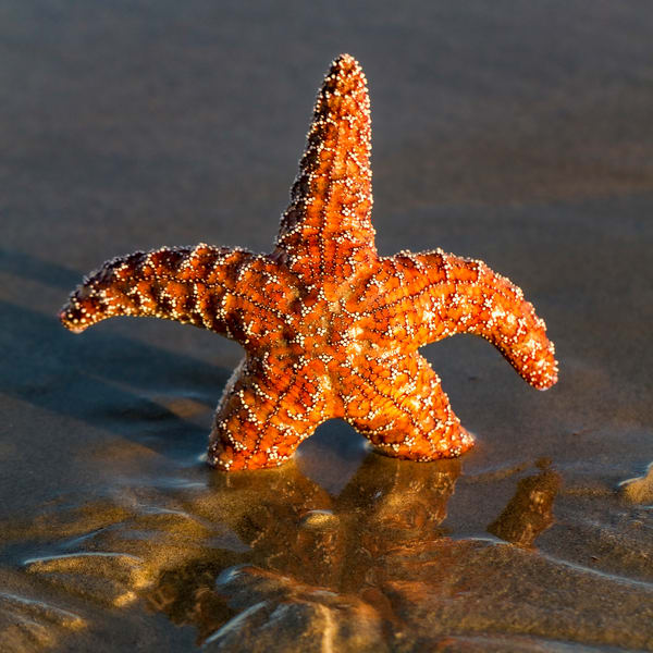 Standing Starfish Photography Art | Michael Scott Adams Photography