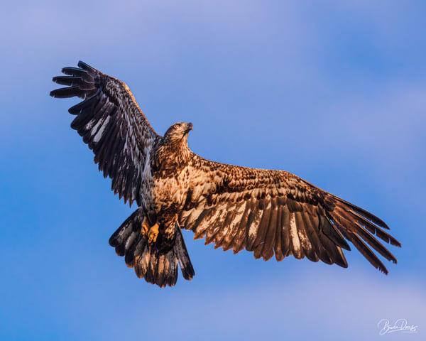 Juvenile Bald Eagle In Flight Photography Art | brucedanz