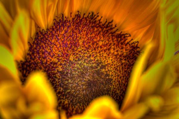 Sunflower On Fire Photography Art   Michael Scott Adams Photography