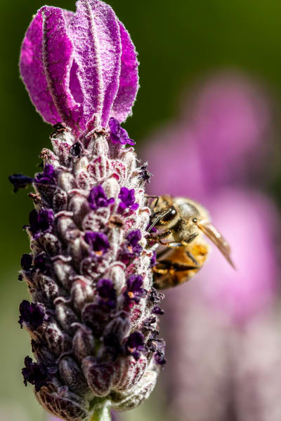 Bee On A Bud Photography Art | Michael Scott Adams Photography