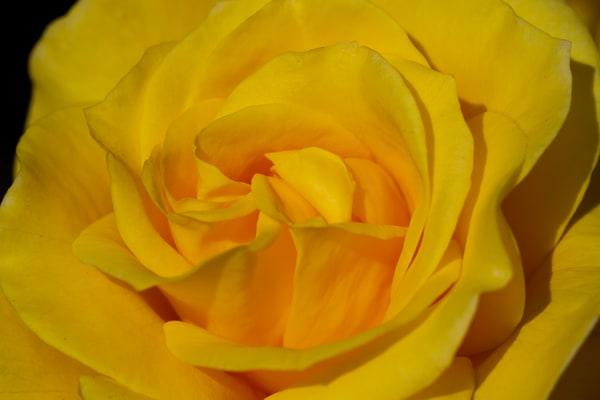 Yellow Rose Photography Art | Michael Scott Adams Photography