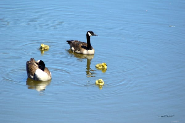 Mama, Papa and three baby geese out for a family swim in the Delaware River May 2020