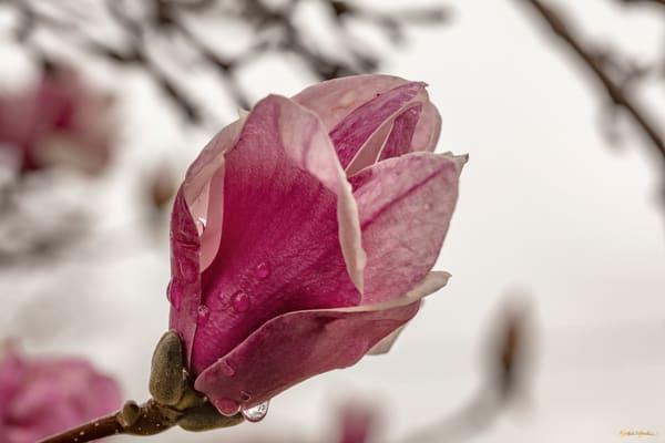 Magnolia Water Drops 6029  Photography Art | Koral Martin Healthcare Art