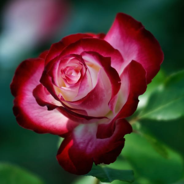 Glowing Rose Photography Art | FocusPro Services, Inc.