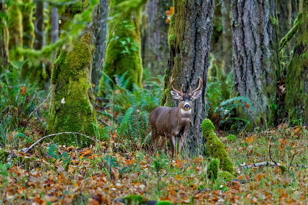 Black-tailed Deer buck along edge of forest.