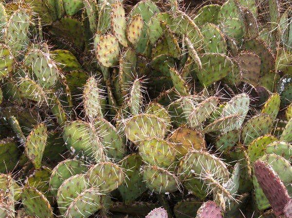Prickly Pear Plants | Nature Art Photography