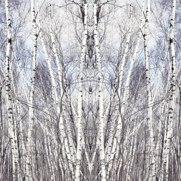 Birch Zen II, by Laura Grisamore