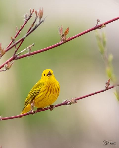 Yellow Warbler Song Photography Art | brucedanz
