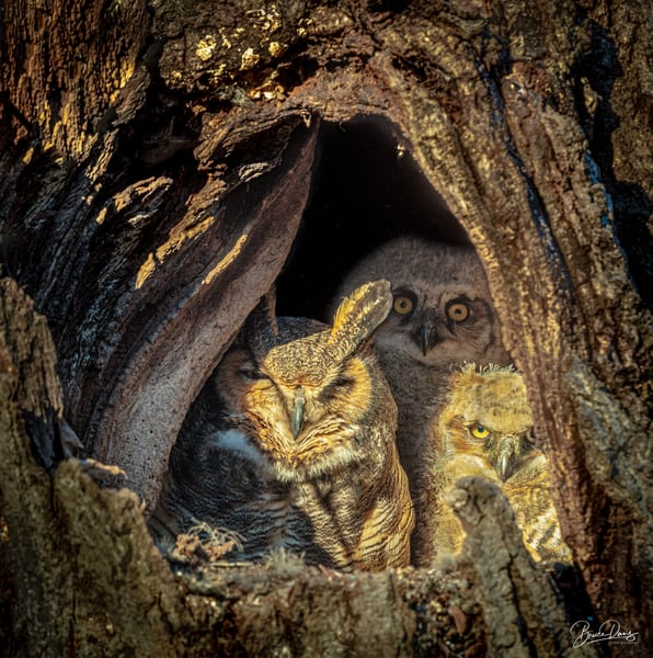 Great Horned Owl Family At Home Photography Art   brucedanz