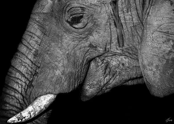 Fine Art Photography Print - Young Elephant Portrait