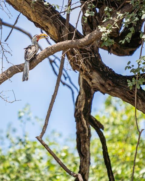 Fine Art Photography Print - Red Billed Hornbill