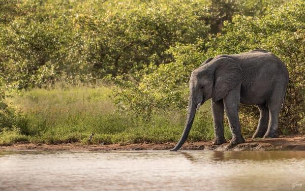 Fine Art Photography Print - Elephant drinking