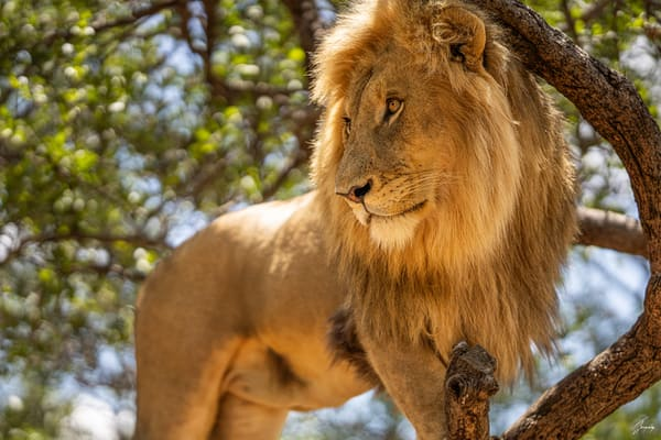 Fine Art Photography Print - The worried lion king