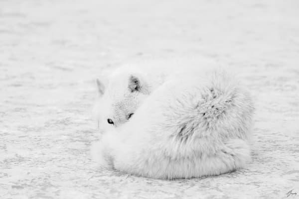 Fine Art Photography Print - Arctic Wolf