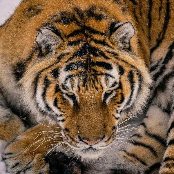 Fine Art Photography Print - Tiger - Death in the eyes