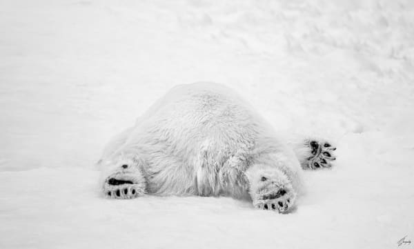 Fine Art Photography Print - Polar Bear Sleeping