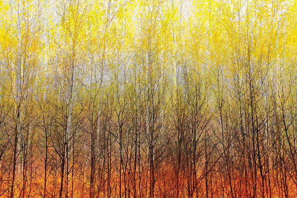 Spring Birch I by Jeremy Simonson