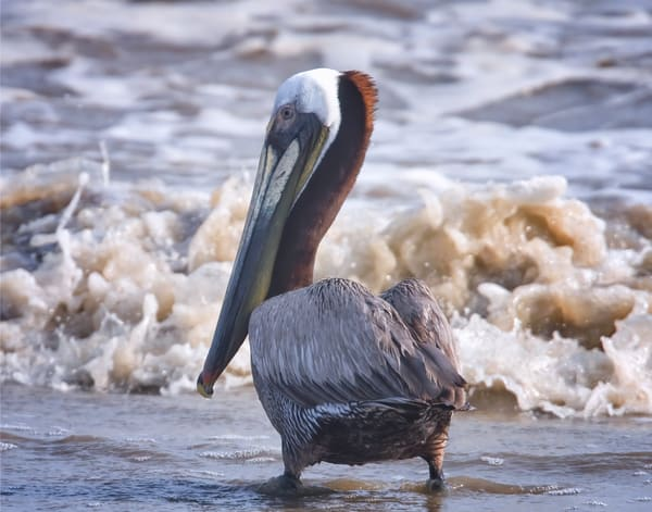 Brown Pelican In Surf Photography Art | Jim E Johnson Photography
