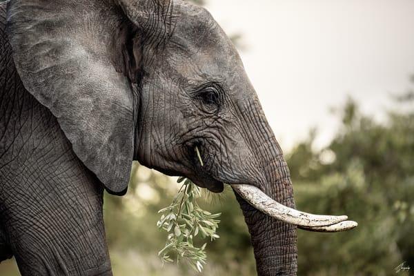 Fine Art Photography Print - Elephant Innocence