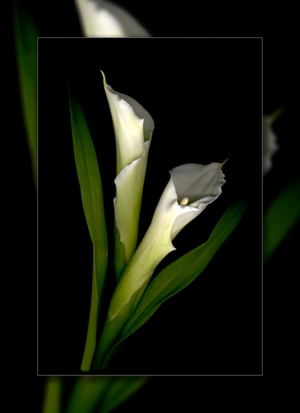 Calla Lilly White Duo 3 D Photography Art | Whispering Impressions