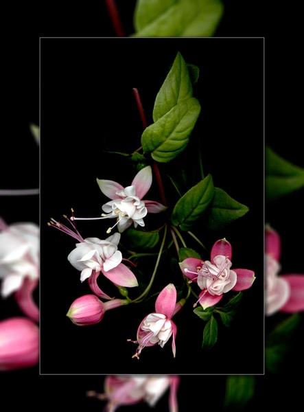 Fuschia Bunch 3 D  Photography Art | Whispering Impressions
