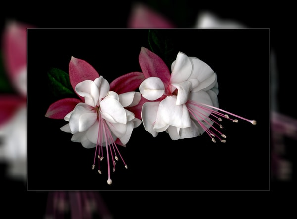 Fuschia Duo 3 D Photography Art | Whispering Impressions