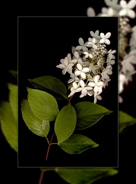 Hydrangea White Pee Gee 3 D Photography Art | Whispering Impressions