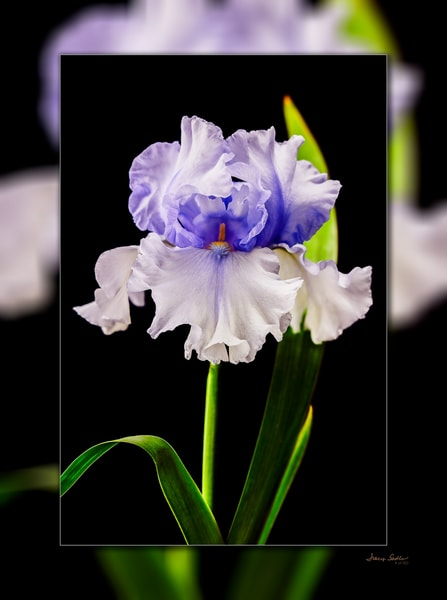 Iris Bearded Full 3 D Photography Art | Whispering Impressions