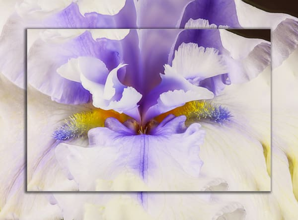 Iris Double Beard Closeup 3 D Photography Art | Whispering Impressions