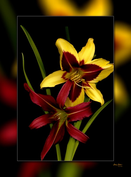 Lilly Burgundy Yellow 3 D Photography Art | Whispering Impressions