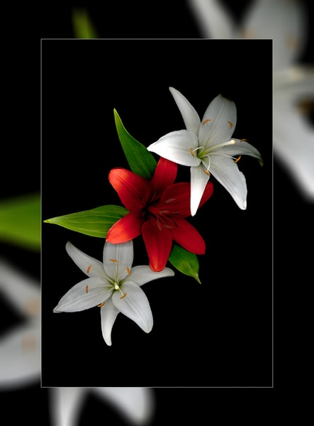 Lilly Trio 3 D Photography Art | Whispering Impressions