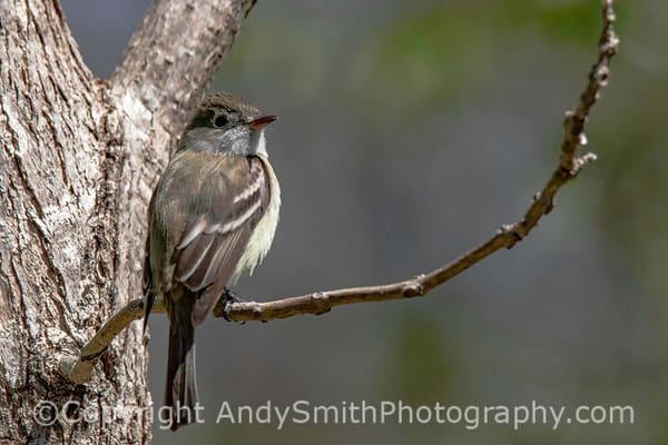Least Flycatcher, Empidonax minimus