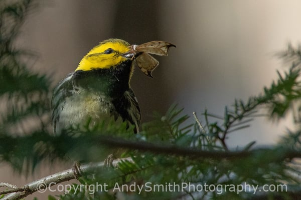 Fine art  photograph of Black-throated Green Warbler, Dendroica virens