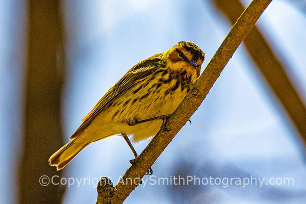 Fine Art Photograph of Cape May Warbler, Dendroica tigrina