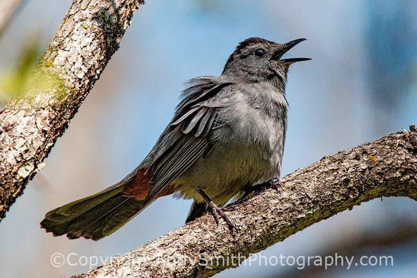 Fine Art Photogrpah of Gray Catbird, Dumetella carolinensis