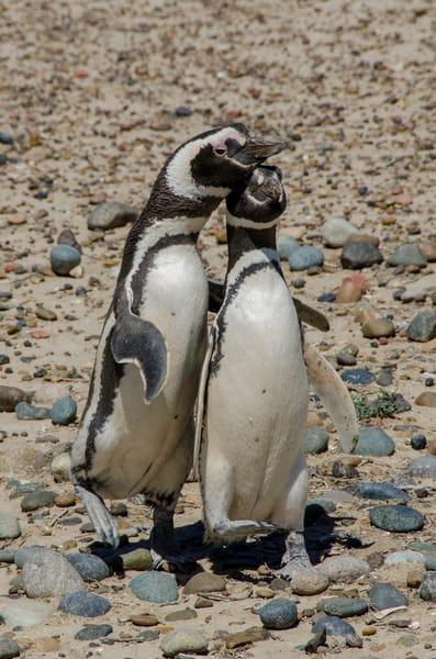 Hugging penguins