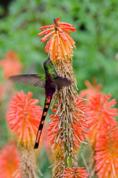 hummingbird orange flower