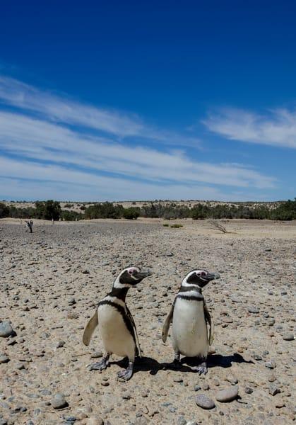 Synchronized penguins