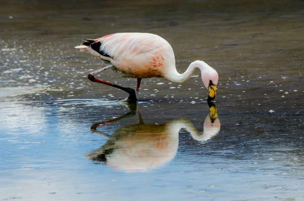 reflecting flamingo