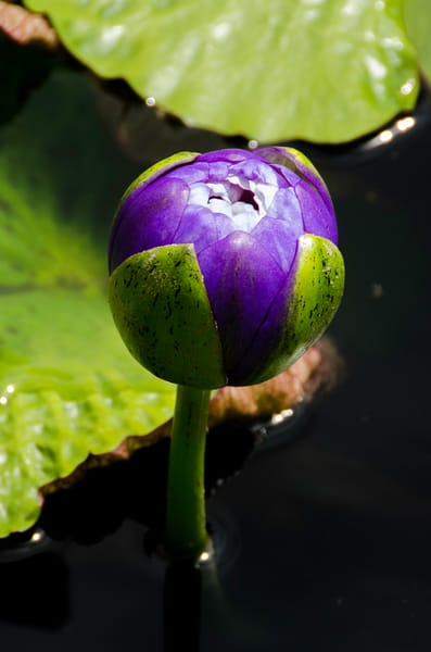 closed purple lily