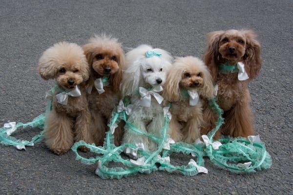 Japanese poodles